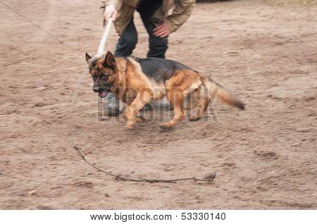 Training The Alsatian Dog