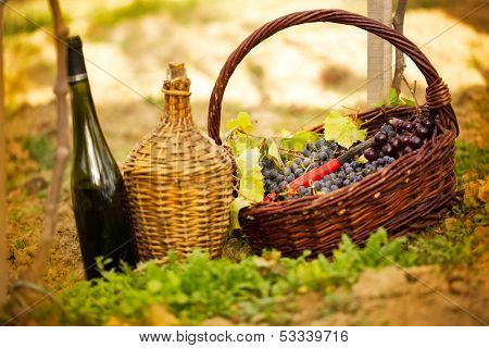 Bottle of red wine and grapes in basket in the vineyard.