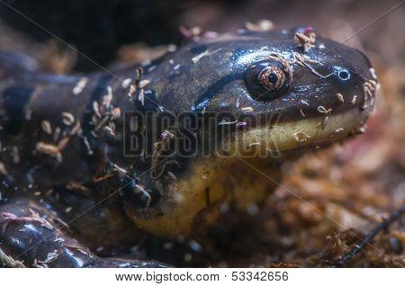 Tiger Salamander - Ambystoma Tigrinum