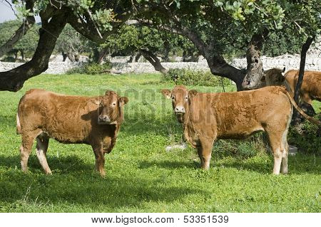 cows in a farmland