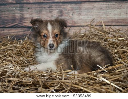 Little Sheltie Puppy