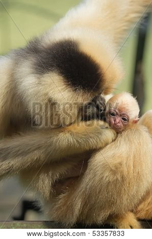 Monkey Female Is Kiising Her Baby