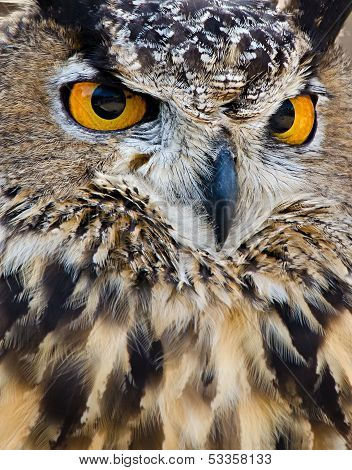 Great Horned Owl, closeup