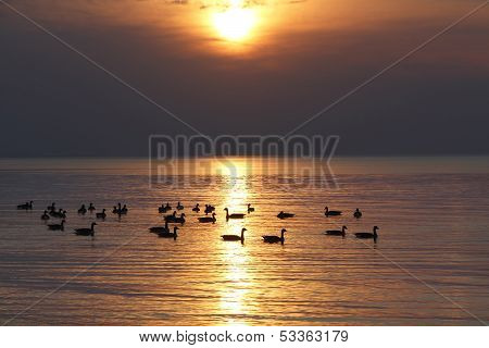 Flock Of Canada Geese On Lake Huron At Sunset
