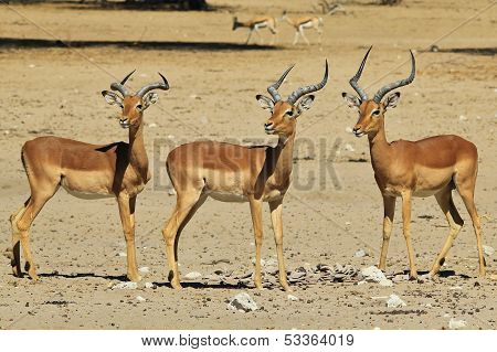 Impala - Wildlife Background from Africa - Safety in horned Brotherhood