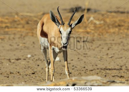 Springbok - Wildlife Background from Africa - Eating life and wonderful fun