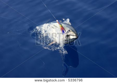 Lançamento e pesca mediterrânica do atum de barbatana azul
