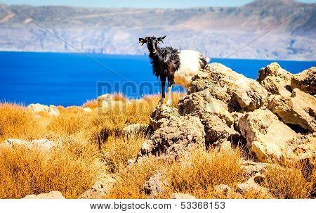 Goat Kri Kri, Crete