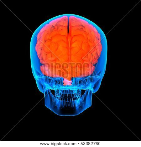 Human red brain X ray - back view
