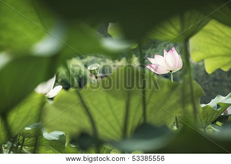 Pink lotus flower on lake in China