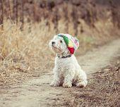 image of westie  - small dog in the hat walking in a field - JPG