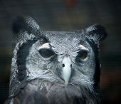 Bubo lacteus, also known as Giant or Milky Eagle Owl poster