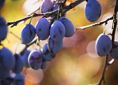 Blue ripe plums on the tree