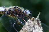 pic of broad-bodied  - Multifaceted eyes of Broad-bodied Chaser in a super macro shot
