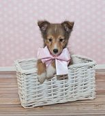 image of sheltie  - Little Sheltie puppy sitting in a white basket with a pink and white poke a dot background - JPG