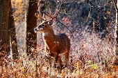 picture of deer rack  - Whitetail Deer Buck standing in a woods - JPG