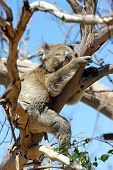 foto of koala  - Sleeping Koala in a Blue Gum Tree - JPG