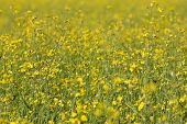 picture of rape-seed  - rape oil seed field   - JPG