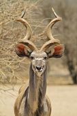 stock photo of greater  - A Greater Kudu bull stares into the lens, with magnificent horns of curls and twists.  Photographed in the wilds of Africa.