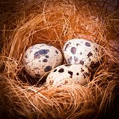 picture of priceless  - Quail - JPG