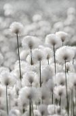 picture of marshlands  - Landscape of blooming cotton grass. Western Siberia.