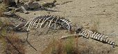 stock photo of dinosaur skeleton  - Dead dinosaur ancient skeleton bones in sand - JPG