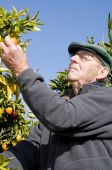 image of satsuma  - old man picking Satsuma from tree out of garden - JPG