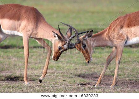 Fighting Impala Antelope