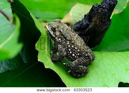 Female Black-spined Toad (bufo Melanostictus)