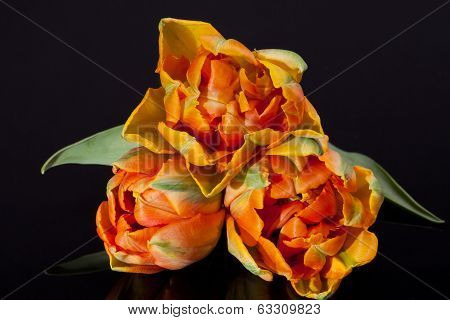 some colorful parrot tulips isolated on black background