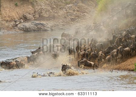 Migratory blue wildebeest (Connochaetes taurinus) crossing the Mara river, Masai Mara National Reserve, Kenya