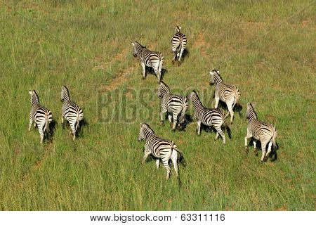 Aerial view of Plains (Burchells) Zebras (Equus burchelli) in grassland, South Africa