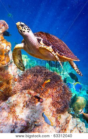 Turtle - Eretmochelys imbricata floats under water