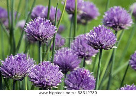 Chives flowers macro