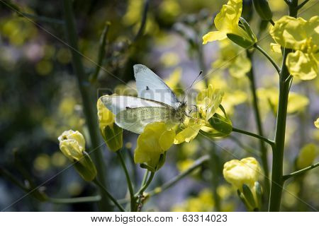 butterfly on a cabbage flower
