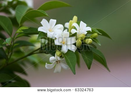 Flowers,orange Jessamine