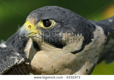 Outstretched Wings Peregrine Falcon (falco Peregrinus)