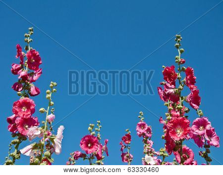 The Pink Hollyhock In The Garden