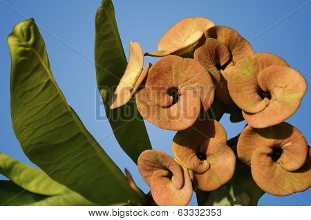 Isolated Euphorbia