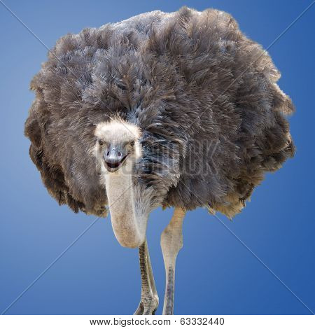 Isolated Ostrich