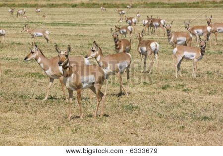 North American Pronghorn