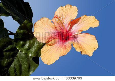 Hibiscus Isolated