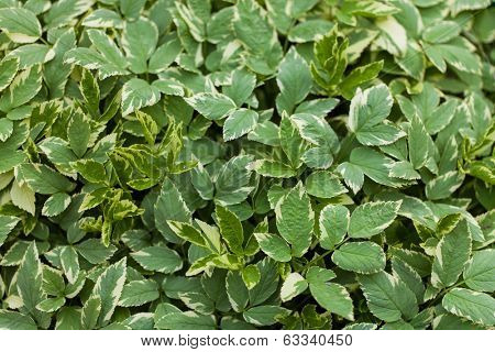 Background, texture foliage