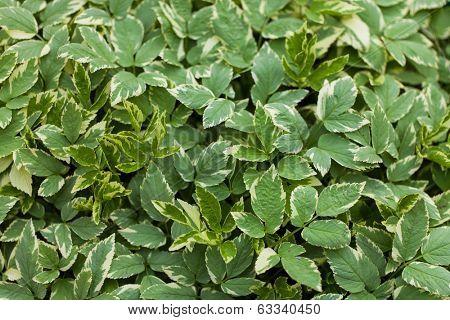 Background, texture foliage