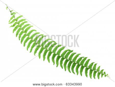 Fern branch isolated on white