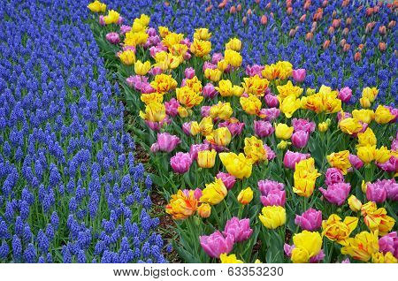 Colorful Spring Tulips And Bluebells