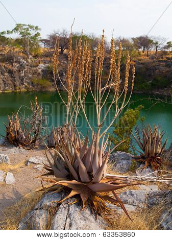 Suculent Plants At Otjikoto Lake