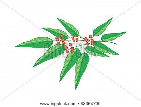 A Tiliacora Triandra Plant On White Background