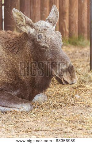 Portrait of resting Eurasian elk