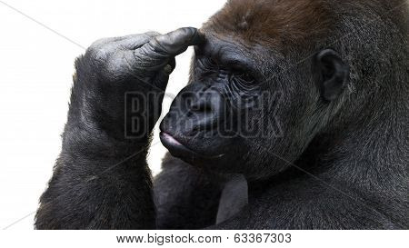 gorilla pondering things